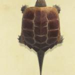 【あつ森】カミツキガメは模型にせずそのままの方がいいよね…【どうぶつの森 まとめ】(どうぶつの森まとめ速報)