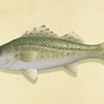 【あつ森】釣れる魚がスズキとブラックバスばっかで魚のコンプが進まない(色んなまとめ)